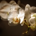 orchid11